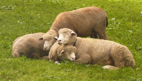 cuddling-sheep